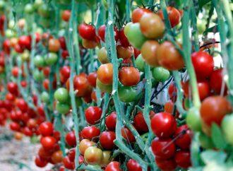 9 ayda yaklaşık 265 milyon dolarlık domates ihracatı